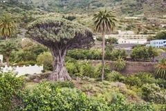 """€žDrago famoso Milenario"""" de Dragon Tree em Icod de los Vinos, Tenerife fotografia de stock"""