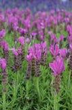 €˜Fairy de Vleugelsroze van lavendelstoechas ' stock afbeelding