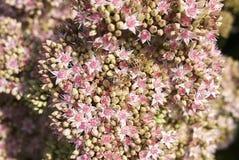 €˜Matrona' del telephium de Sedum con las abejas Fotos de archivo