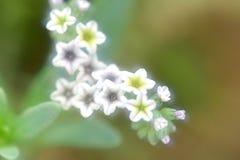 € цветков сладостного Alyssum «наклоняет для растущего сладостного Alyssum Стоковая Фотография