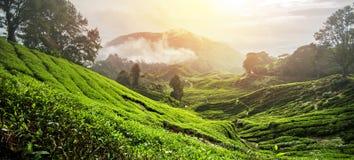 """€ """"HDR de surpresa da plantação de chá Imagens de Stock Royalty Free"""