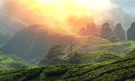 """€ """"HDR de surpresa da plantação de chá Imagem de Stock Royalty Free"""