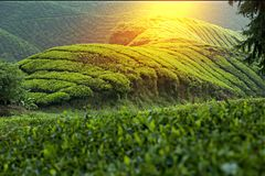 """€ """"HDR de surpresa da plantação de chá Imagens de Stock"""