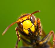 """€ do zangão """"uma grande vespa Imagem de Stock"""