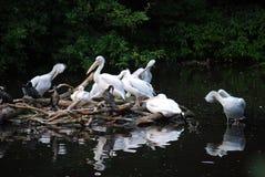 """€ latino del Pelecanus del pelícano"""" el género de pájaros solamente en familia de Pelecanidae pelikanovy del grupo pelikanoobraz imagen de archivo"""