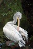 € Pelecanus пеликана латинское» род птиц только в семье pelikanovy Pelecanidae группы pelikanoobrazny стоковая фотография