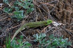 € viridis ящерицы зеленой ящерицы» взгляд ящериц рода зеленых ящериц Стоковая Фотография