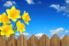 黄水仙、篱芭和蓝天 免版税库存照片