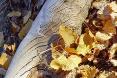 一一千年沙漠白杨树 免版税库存图片