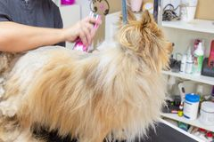 一专业狗groomer穿戴的狗 免版税库存图片