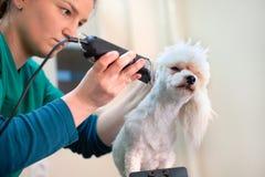 一专业groomer修饰的白色bichon frise狗 库存照片