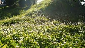 一个三叶草领域的储蓄英尺长度与太阳火光的 股票录像