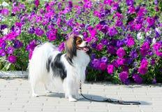 一个下落的品种的狗在紫色花背景站立  免版税库存照片