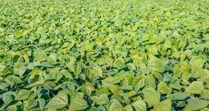 一个不尽的晴朗的领域的年轻青豆植物 库存图片