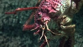 一个丑恶甲壳动物海里 影视素材
