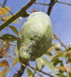 一个丝绸绣花丝绒结构树的果子荚 免版税库存照片