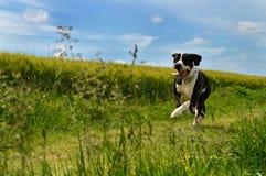 一个丹麦种大狗狗品种 库存图片