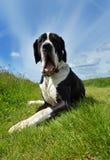 一个丹麦种大狗狗品种 免版税图库摄影