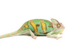 一个也门变色蜥蜴 免版税库存图片