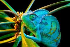 一个也门变色蜥蜴 库存照片
