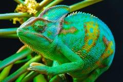 一个也门变色蜥蜴 免版税库存照片