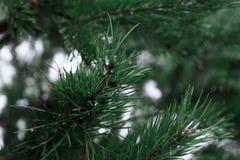 一个云杉的分支特写镜头的图象 库存照片