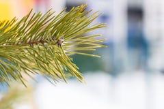 一个云杉的分支的特写镜头与锥体的 免版税库存照片