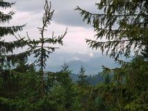 一个云杉的树丛在一座美妙的庄严山的背景中在暗灰色天空下 库存图片