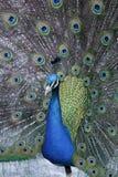 一个五颜六色的孔雀 库存图片