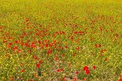 一个五颜六色的鸦片领域-花海的风景在绿色黑麦之间的 免版税库存照片