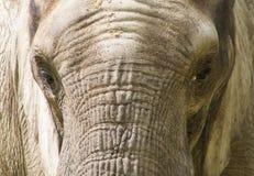 一个亚洲大象特写镜头 库存照片
