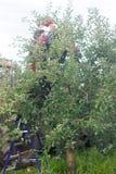 一个人从树撕毁苹果 收获 土气样式,选择聚焦 库存照片