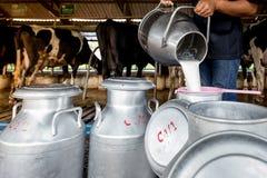 一个人倒牛奶对奶桶在奶牛场 免版税图库摄影