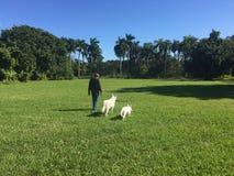 一个人和他的两只白色牧羊犬 免版税库存照片