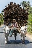 一个人和他的黄牛用车运送运输将使用作为燃料为厨灶的椰子树分支装载  库存照片
