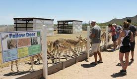 一个人喂养小鹿,雄鸡Cogburn驼鸟大农场, Picacho, 免版税库存照片