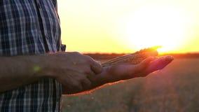 一个人在他的手上举行金黄,成熟麦子耳朵在日落或日出 农业的概念 股票录像