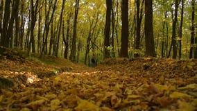 一个人在秋天森林里走 影视素材