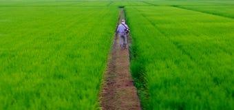 一个人在米种植园 图库摄影