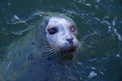 一个人注视斑海豹,在水外面的头,等待赠送品 库存照片