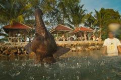 一个人洗涤他的在泰国的海湾的大象 库存照片