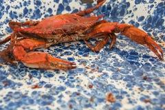 一个人烹调了与老海湾调味料的马里兰螃蟹在一块蓝色和白色飞溅声板材 图库摄影