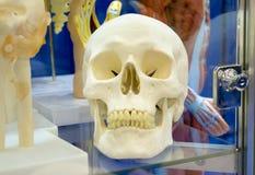 一个人的头骨特写镜头的布局 图库摄影