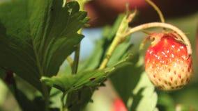一个人的手从灌木撕毁一个红色草莓 农夫收获一个成熟莓果 花匠的手摘草莓  股票视频