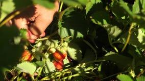 一个人的手在他的棕榈采取从灌木的一个红色草莓并且投入它 r 花匠的手 股票录像