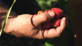 一个人的手在他的棕榈采取从灌木的一个红色草莓并且投入它 r 花匠的手 影视素材