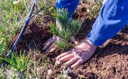 一个人的手特写镜头在水滴灌溉线旁边种植一棵大枝松常青幼木树 免版税库存照片
