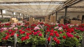 一个人通过有开花的花的一个仓库,增长的花的一个大温室仓库乘坐铲车 股票视频