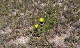 一个仙人掌在干燥含沙草开花 免版税库存照片