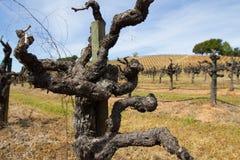 一个休眠老藤金凡多酒藤的特写镜头在索诺马县加利福尼亚 库存图片